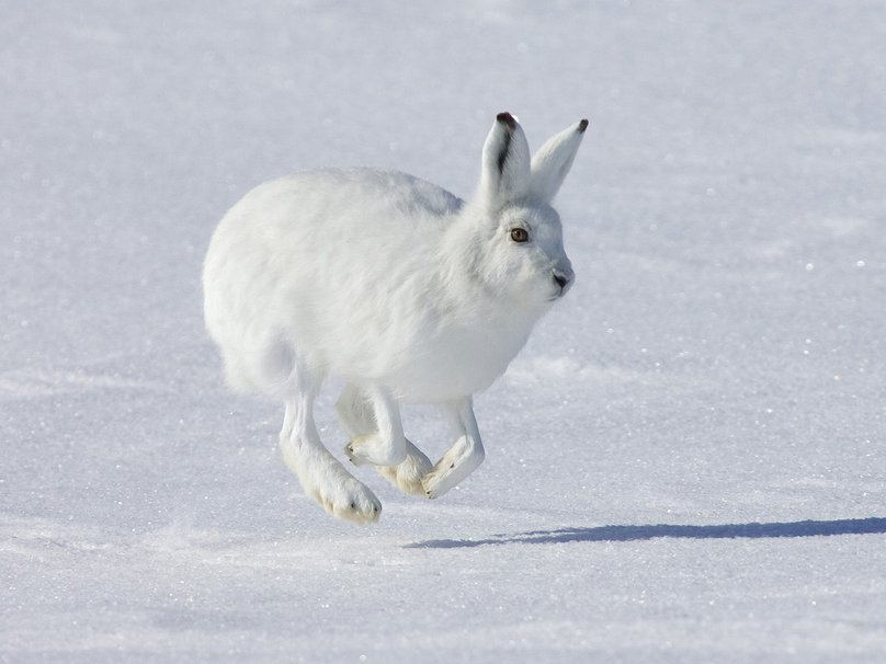 1043286__hopping-arctic-hare-banks-island-canad_p