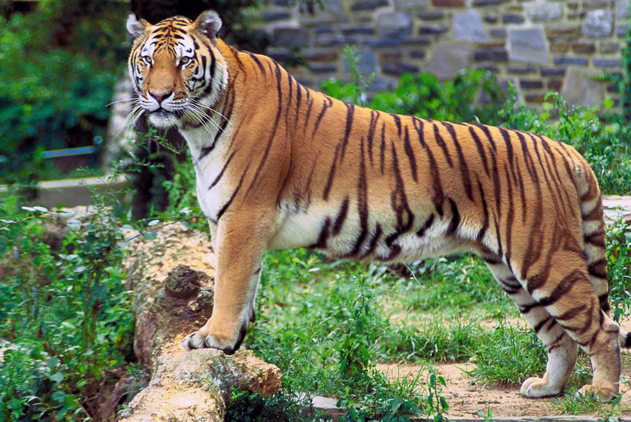 931273__royal-bengal-tiger_p